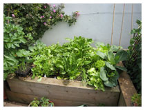 Raised bed for easy access, with a lovely array of salad vegetables and attractive climbing rose.
