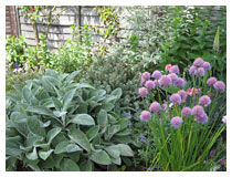 Foliage and flowers in silver, mauve and pink.  The plants chosen thrive in the local conditions in this Bedfordshire garden.