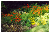 Hot colour border – the day lilies have just finished blooming, and the focus is now on the orange helenium flowers and flame-red crocosmia flowers – in late summer the rich golden flowers of the ligularias will come to the fore.  Sun and shade border planting design in Berkhamsted Hertfordshire.