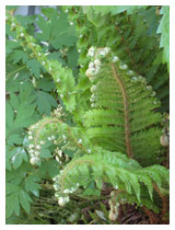 Beautiful foliage in a shady area.  The leaf shapes and the shades of green provide spring interest as the fern fronds unfurl.   Design for shady garden in Bedfordshire.